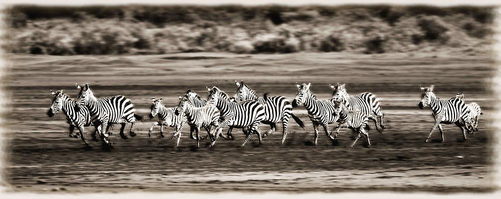 July 21, 2019 - Running Zebras, Serengeti National Park, Tanzania, Africa (Credit Image: © Carson Ganci/Design Pics via ZUMA Wire)