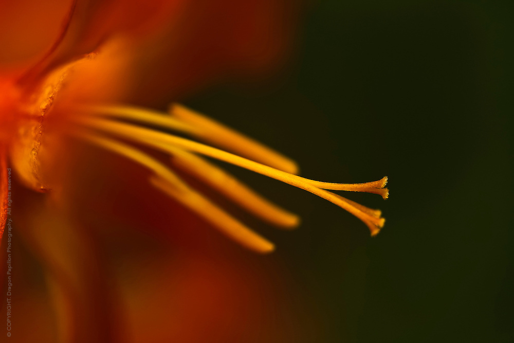 macro photography: orange flower stamens against dark background