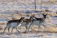 Pronghorn antelope in southern North Dakota on Wednesday, Jan. 17, 2018.