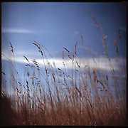 Wild Grasses, Suffolk, 2009