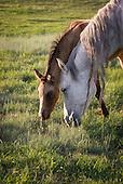 Horses, Mares & Mules