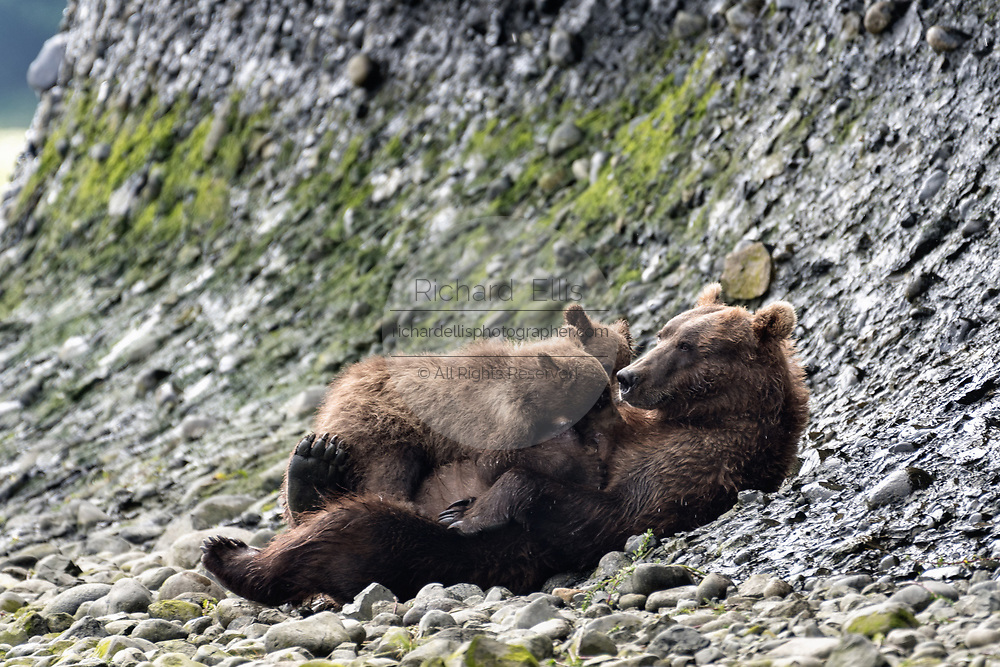 A grizzly bear sow nursed her spring cubs along the lower lagoon at the McNeil River State Game Sanctuary on the Kenai Peninsula, Alaska. The remote site is accessed only with a special permit and is the world's largest seasonal population of brown bears.