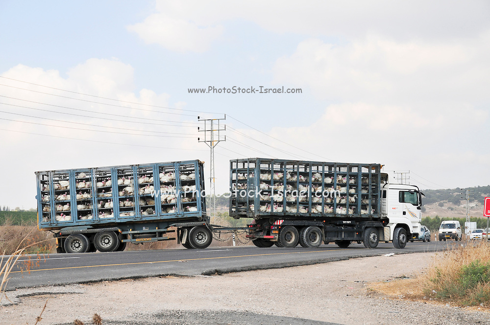 Israel, Transporting live turkeys to the slaughter house
