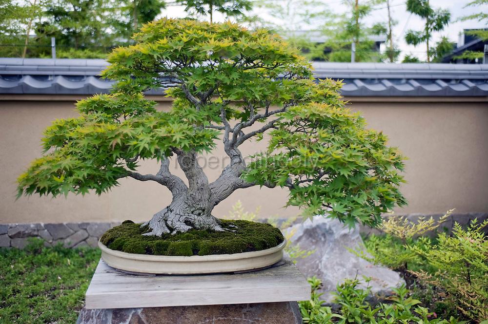 Photo shows a Yamamomiji (Japanese maple tree)  on display at the Saitama Omiya Bonsai Museum of Art in Saitama, Japan on 15 Aug. 2011..Photographer: Robert Gilhooly