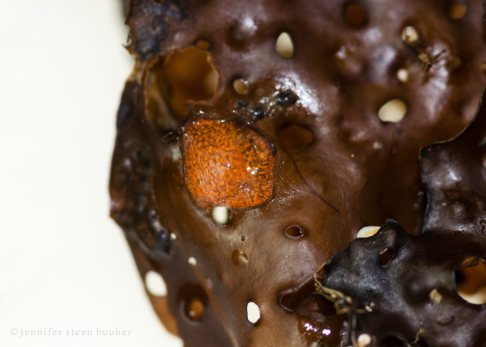 Orange Sheath tunicate (Botrylloides violaceus) colony on Sea Colander kelp (Agarum cribosum)