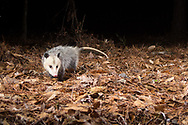 Virginia Opossum, North American Opossum (Didelphis virginiana)<br /> United States: Alabama: Tuscaloosa Co.<br /> Tulip Tree Springs off Echola Rd.; Elrod<br /> 21-Jan-2017<br /> J.C. Abbott &amp; K.K. Abbott<br /> captured with trap camera