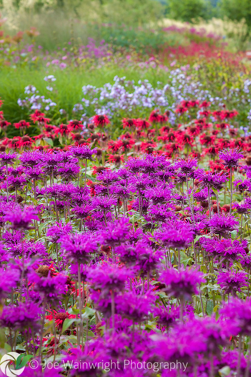 Purple and red monardas provide a vibrant display in the Floral Labyrinth at Trentham Gardens, Staffordshire.