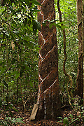 Balata or Bullet Wood Tree being bled for natural latex<br /> Katoka<br /> Rupununi<br /> GUYANA<br /> South America