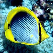 Blackbacked Butterflyfish inhabit reefs. Picture taken Philippines.