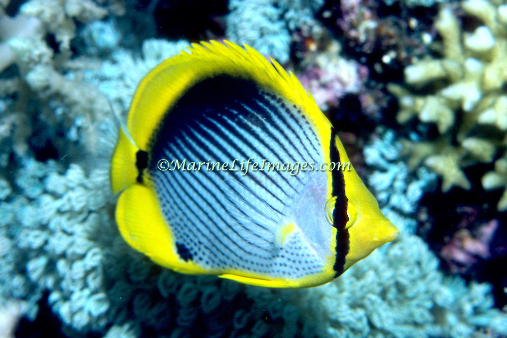 Blackbacked Butterflyfish inhabit reefs. Picture taken Philippines.