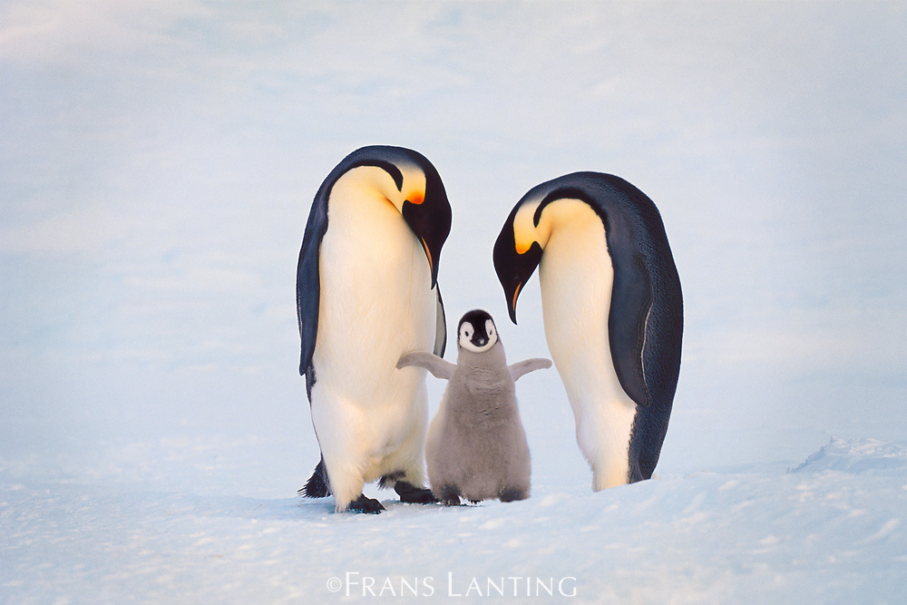 Emperor penguin family, Aptenodytes forsteri, Antarctica