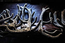 The antlers of a deer dry in the drying room in the Altai (eastern Siberia) village of Mendur-Sokon, Russia, 25 July 2001. Local population traditionally sell pants (the young, just grown antlers of a deer) to farmacilogical factories, which produce extremely effective biological active medicine Pantacrin with high tonic effect. The antlers are sold by local people for about $150 per kilo, which cost up to $500 on Asian markets..