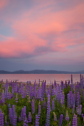 """Lupine Sunset 1"" - This sunset and lupine flowers were photographed at Lake Forest Beach Park, just outside of Tahoe City, CA."