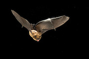 A big brown bat (Eptesicus fuscus) in flight in the Rogue River National Forest, Oregon.
