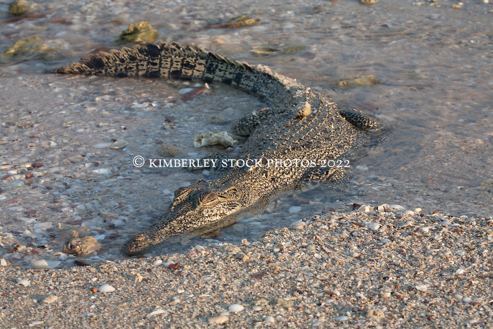 A crocodile hides in a shallow gutter on a beach in Deception Bay.