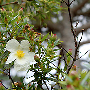 Cistus libanotis, an endemic plant of southwestern Iberian Peninsula