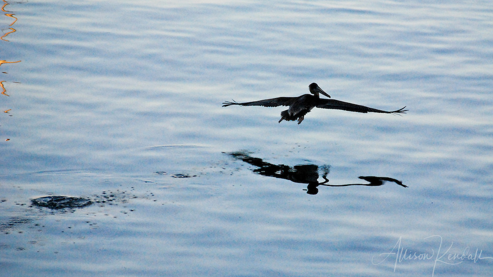A pelican glides low above the ocean in evening light