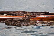 June 23, 2010. BP oil covered boom surrounding Cat Island in Barataria Bay in Plaquemines Parish.
