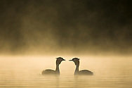 Great crested grebes, Podiceps cristatus, one offering a feather to its mate during courtship ritual enveloped in dawn mist, Cheshire, UK