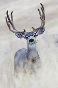 Mule Deer Buck (Odocoileus hemionus), Western North America