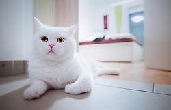 THEMENBILD - Portrait einer schneeweissen Britisch Kurzhaar Katze, aufgenommen am 05. Juni 2015, Viehhofen, Österreich // portrait of a white british shorthair cat in Viehhofen, Austria on 2015/06/05. EXPA Pictures © 2015, PhotoCredit: EXPA/ JFK
