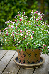 Zaluzianskya ovata growing in a pot on the patio table