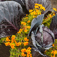 Purple cabbage and edible marigolds:Tagetes tenuifolia 'Tangerine Gem', signet marigold 'Tangerine Gem'.