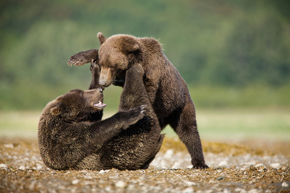 USA, Alaska, Katmai National Park, Kukak Bay, Brown Bear (Ursus arctos) wrestle on tidal flats on late summer morning