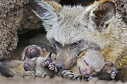 Bat-eared fox<br /> Otocyon megalotis<br /> With 13 day old pup(s) in den<br /> Masai Mara Reserve, Kenya