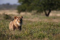 An adolescent male lion (Panthera leo) standing in high grass during the wet season in the Kalahari Desert, Central Kalahari Game Reserve, Botswana, Africa