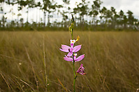 Simpson's grass-pink orchid growing in a prairie in the Florida Everglades. The height of these orchids makes them easy to spot over these vast grasslands.