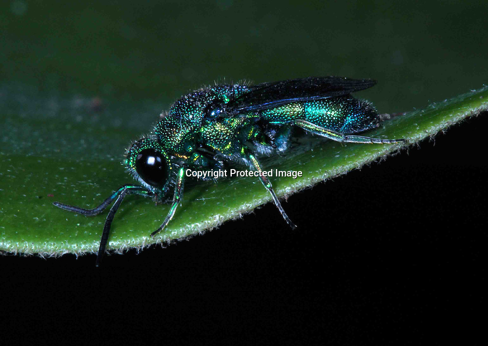 cuckoo wasps are brightly coloured and have very strong armour plating over their whole body