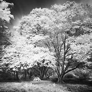 Turning Oak Tree - Fullerton Arboretum CA - Infrared Black & White