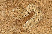 Die Zwergpuffotter, oder Peringuey-Wuestenotter, (Bitis peringueyi) gehört zu den Vipern und lebt nur in der Namib-Wüste und einigen angrenzenden Gebieten. Mit einer maximalen Länge von 30 Zentimetern gehört sie zu den zwei kleinsten Arten ihrer Gattung, der Puffottern. Die Hitze des Tages verschläft sie eingegraben im Sand, oft an schattigen Stellen neben Dünengras oder Büschen. Nachts und in der Dämmerung ist die Schlange aktiv und jagt auf den Dünenhängen nach kleineren Reptilen und gelegentlich auch Nagetieren wie der Wüsten-Rennmaus. Die Zwergpuffotter hat einen recht plump wirkenden Körper und der breite, abgeflachte Kopf trägt nach oben gerichtete Augen. Zuweilen lauert die Schlange mit Sand bedeckt auf Beute. Dabei ragen nur die farblich an den Sand angepassten Augen und Nasenöffnungen sowie die bei vielen Individuen schwarz gefärbte Schwanzspitze aus dem Sand. Nähert sich ein potentielles Beutetier wird die Schwanzspitze als Köder bewegt. Die arglose Beute wird, sobald sie in Reichweite der vorschnellenden Schlange kommt, mit sicherem Biß gepackt. Hat das Gift der Zwergpuffotter das Beutetier bewegungsunfähig gemacht, ertastet die Schlange dessen Vorderende und verschlingt es in einem Stück.  |Peringueys Sidewinding adder (Bitis peringueyi)