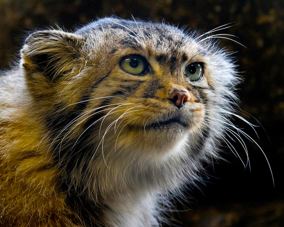 This is a Pallas Cat, a wild species from Asia.