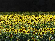 A field of sunflowers near Yellow Springs, Ohio.
