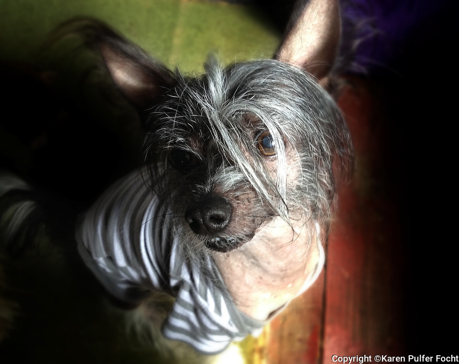 Hachoo, the Chinese crested dog is a hairless breed of dog. The tiny dogs are Lively, Playful, Alert, Sweet-Tempered, Happy, Affectionate.