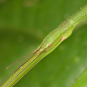 The Phasmatodea (sometimes called Phasmida or Phasmatoptera) are an order of insects, whose members are variously known as stick insects, walking sticks or stick-bugs, phasmids, ghost insects.