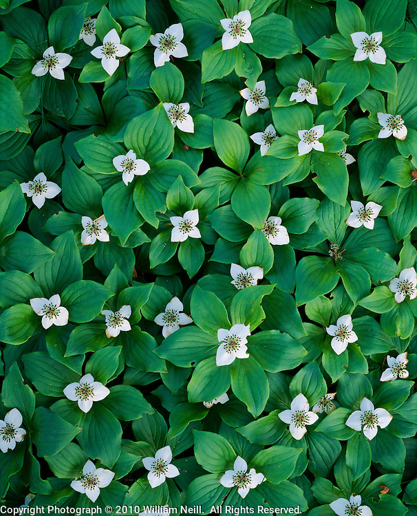 Bunchberry dogwood, spring, Acadia National Park, Maine, 1995