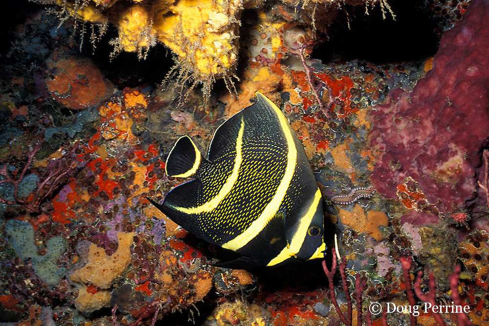 intermediate phase French angelfish, Pomacanthus paru, New Guinea Reef, St. Vincent or Saint Vincent, West Indies ( Eastern Caribbean Sea ) (dm)