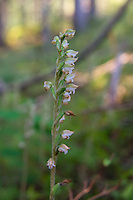 The flowers of the western rattlesnake plantain orchid are quite non-descript for an orchid, but up close they are quite beautiful. Unlike other Goodyera orchid species that all look somewhat similar to each other, Goodyera oblongifolia's flowers all tend to face the same direction on the flowering stalk, which appears about mid to late summer, depending on the longitude, altitude and local climate. Each tiny flower is hermaphroditic, meaning they have both female and male parts and most often pollinated by bumble bees. These were found and photographed in Glacier National Park in Northern Montana.