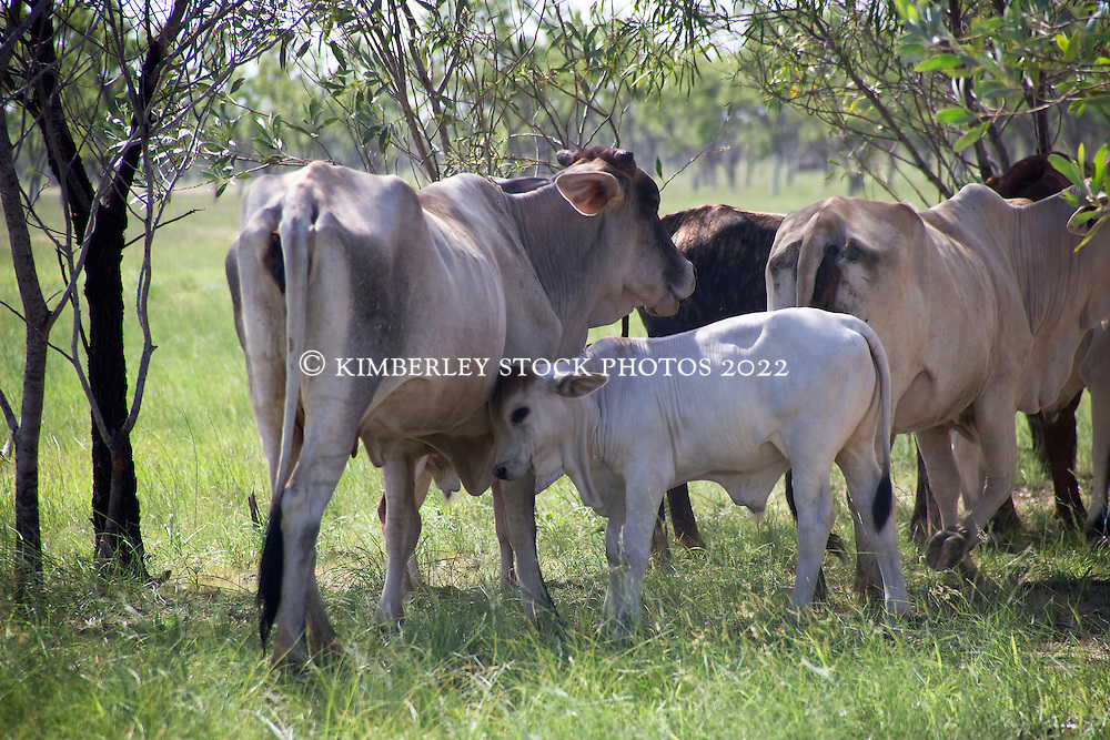 Brahman cow and bull calf.