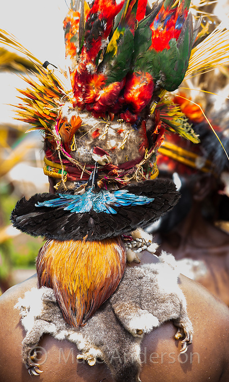 Rear view of a man wearing tribal headdress with birds feathers including the distinctive iridecent breastplate of the Superb Bird-of-paradise (Lophorina superba) and the colourful bodies of lorikeets. He also wears the fur of a possum and the orange tail of a cockerel. Goroka Festival in the highlands of Papua New Guinea.