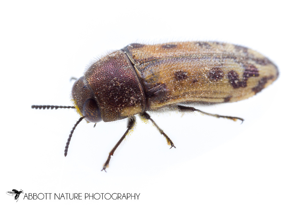 Metallic Wood-boring Beetle (Acmaeodera mixta)<br /> United States: Texas: Lamar Co.<br /> Camp Maxey National Guard, Powderly<br /> 27-Jun-2017<br /> J.C. Abbott #2963