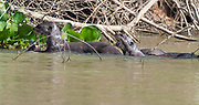 Giant river otters (Pteronura brasiliensis) feeding on fish in the Cuiaba River, Pantanal, Brazil.