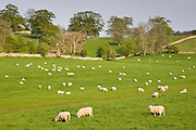 Sheep grazing, Chedworth, Gloucestershire, The Cotswolds, England, United Kingdom