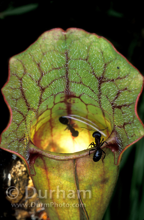 While one ant is trapped and killed by a venosa pitcher plant (Sarracenia purpurea venosa) another sits on the lip above the trap. This plant is native to swampy bogs in the SouthEast part of North America.