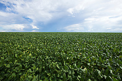Campo de soja na regiao centro-oeste./Field of soybeans in the Midwest region. Goias, Brazil