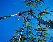 Coconut Palm, Hawaii<br />