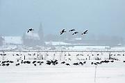 Nederland, Ooijpolder, 22-12-2009Wilde ganzen zitten in een met sneeuw bedekt weiland in de ooijpolder bij Nijmegen. Vogels, vogelpest, vogelgriep, kippenpest, kippengriep, trekvogels, vogeltrek, verspreiding dodelijk virus, variant griepvirus, H5N1Foto: Flip Franssen/Hollandse Hoogte